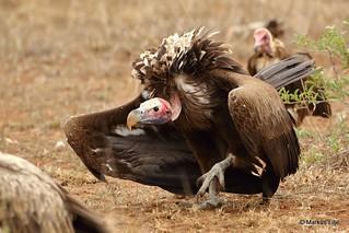 Lappet-faced Vulture, Kruger