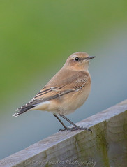 Wheatear - Female - (Oenanthe oenanthe) 'L' for large (hunt.keith27) Tags: wheatear small mainly grounddwelling bird hops runs bluegrey above black wings white below orange flush t shape tail oenanthe exeestuary devon canon 7dmk2