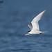 Tern with Peanut Bunker (krisinct- Thanks for 15 Million views!) Tags: nikon d500 500 f4 vrg