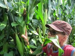 Tomorrow Harvesting Maize 2017 (excellentzebu1050) Tags: 2017 maize caroline selfie fieldwork farm harvest harvesting hanks everyone