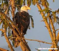 Bald Eagle at sunset Canon 5DS R 800mm (Mike Black photography) Tags: bald eagle bird nature photo photography nj new jersey shore canon 5dsr 600mm 800mm usm l is lens body shark river sky black white