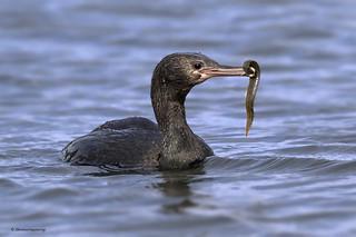 Pelagic Cormorant   Cormoran pélagique