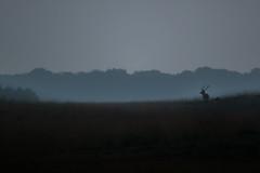 R17_8478 (ronald groenendijk) Tags: cronaldgroenendijk 2017 cervuselaphus rgflickrrg bronst deer edelhert groenendijk hogeveluwe holland nature natuur natuurfotografie netherlands outdoor reddeer ronaldgroenendijk wildlife