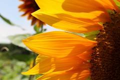 Sunflower (jonathanzhong1) Tags: