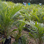 Sustainable oil palm nursery workers thumbnail