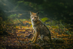South American gray fox. (Valter Patrial) Tags: south american gray fox animals lycalopex griseus patagonia wildlife inexplore