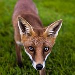 Something Foxy thumbnail