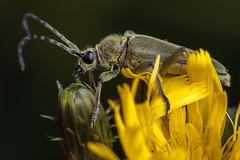 Well Combed - _TNY_1496 (Calle Söderberg) Tags: macro canon canon5dmkii canonef100mmf28usmmacro canoneos5dmarkii raynox dcr250 flash meike mk300 glassdiffusor blackbackground cerambycidae långhorning grönblombock lepturobosca virens flockfibbla hieracium umbellatum fibbla yellow green skalbagge beetle insect lepturinae polyphaga fur furry hair hairy antennae hawkweed canadianhawkweed canadahawkweed northernhawkweed narrowleafhawkweed asteraceae f16 5d2 dichtbehaartehalsbock grünerschmalbock bockkäfer