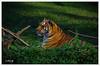 Tiger panther (L.D.G ph.) Tags: tiger evening light riposo nature