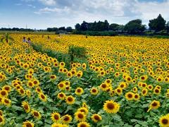 ひまわり (hamapenguin) Tags: nature flower summer sunflower 向日葵 ヒマワリ apple iphone kanagawa 座間