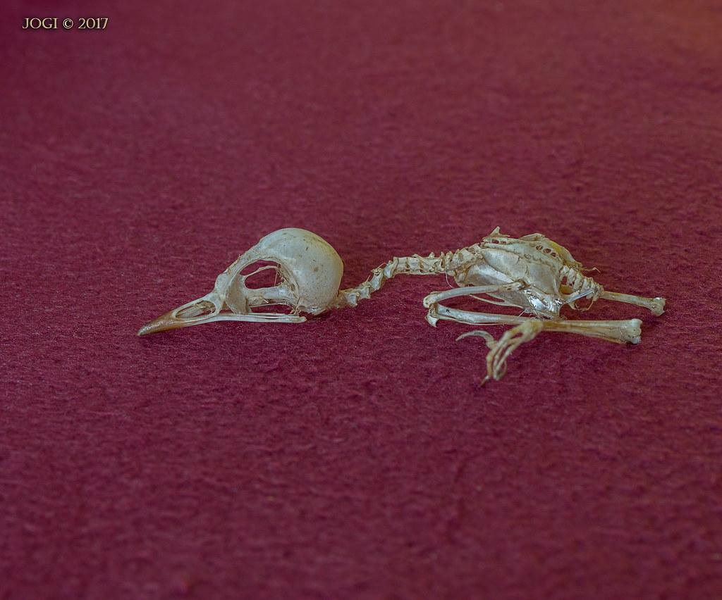 the world 39 s best photos of skelett and vogel flickr hive. Black Bedroom Furniture Sets. Home Design Ideas