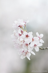 Cherry Blossom (DMeadows) Tags: kiyomizudera temple dmeadows davidmeadows japan japanese asia asian holiday vacation tour tourism travel trip visit culture cherry blossom sakura kyoto
