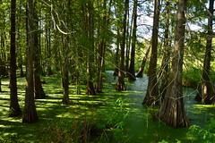 Lafayette 3 (Krasivaya Liza) Tags: lafayette la louisiana bayou bayous swamp swampland swamptour south southern usa nature