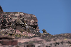 "White-tailed Ptarmigan • <a style=""font-size:0.8em;"" href=""http://www.flickr.com/photos/63501323@N07/35990180100/"" target=""_blank"">View on Flickr</a>"