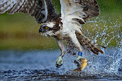 The awesome AU6...... (coopsphotomad) Tags: osprey bird wildlife nature animalfisher fishing fish trout water spray flight talons avian raptor migrant predator apex lake background outdoor