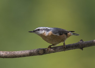 Sittelle a poitrine rousse  -  Red-Breasted Nuthatch