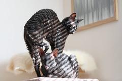 Bils 195/365 (PiaLiz) Tags: cornishrex crx katter