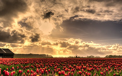 Who's afraid of red tulips, yellow sun & blue sky? (Alex-de-Haas) Tags: oogvoornoordholland 1635mm d750 dutch europe hdr holland nederland nederlands nikkor nikon noordholland thenetherlands clouds landscape landschap lucht nature natuur skies sky sol sun sundown sunset tulip tulipfields tulipa tulips tulp tulpen tulpenvelden wolken zon zonsondergang
