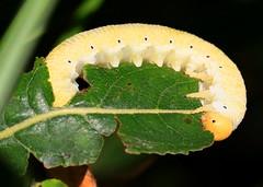 elm sawfly larva feeding on prairie willow at Hayden Prairie State Preserve IA 854A6908 (lreis_naturalist) Tags: elm sawfly larva eating prairie willow leaf hayden state preserve howard county iowa larry reis