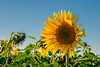DSC_0198 (Rei Cardo) Tags: gira sol girassóis cerca arame farpado sunset flowers flower rice