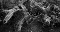 The Stumpery (cousinsmalcolm) Tags: chopped woodland ground texture bark clumped decay stumps rotting trees