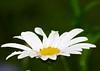Garden Flowers (cascorn) Tags: plant garden macroflower petals white language flowers languageofflowers