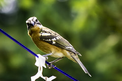 Black-headed Grosbeak (Chatham Sound) Tags: fauna birds songbirds nikon d7200 canada ritish columia vancouverisland shawniganlake