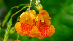 jewel weed and rain drops (Hayseed52) Tags: flowers weeds orange remedy poison ivy