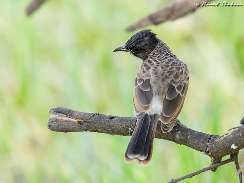 """Red-vented Bulbul • <a style=""""font-size:0.8em;"""" href=""""http://www.flickr.com/photos/59465790@N04/36178857644/"""" target=""""_blank"""">View on Flickr</a>"""