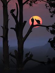 White-backed vulture (Zahoor-Salmi) Tags: zahoorsalmi salmi wildlife pakistan wwf nature natural canon birds watch animals bbc flickr google discovery chanals tv lens camera 7d mark 2 beutty photo macro action walpapers bhalwal punjab