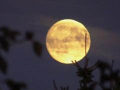 The embrace (peggyhr) Tags: peggyhr moonrise silhouettes trees leaves clouds dsc07420a bluebirdestates alberta canada thegalaxy thegalaxystars