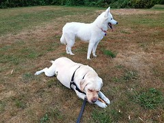Gracie and Bella (walneylad) Tags: gracie bella dog canine pet puppy lab labrador labradorretriever cute august summer evening friends pals buddies