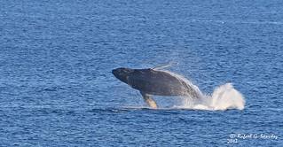 Humpback whale - Baleine à bosse - Ballena jorobada - Megaptera novaeangliae