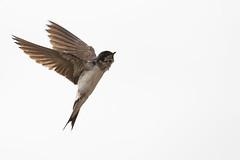 Mehlschwalbe (IIIfbIII) Tags: elbe schwalbe sommer mehlschwalbe wendland nature naturfotografie bird