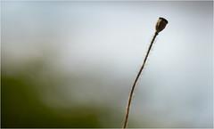 """""""Sorry, no friends"""" (Beppe Rijs) Tags: deutschland fjord germany landschaft natur schlei schleswigholstein landscape nature nah close red rot mohn poppy feld field rural ländlich pflanze plant flower makro macro liebe love grau grey friends freund friend halm"""