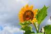 Sunflower (only_sepp) Tags: allnaturesparadise allaperto girasole colori cielo sole estate portoazzurro isoladelba