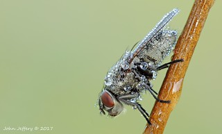 Diptera deliquescence..