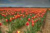 Red and Yellow (hapulcu) Tags: northholland paisbajos paysbas holland hollande nederland netherlands olanda primavera printemps spring tulipen tulipes tulips холандија