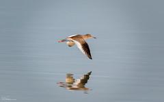 Redshank (Steve C Waddingham) Tags: stevenwaddinghamphotography bird british countryside coast wild wildlife wader water nature