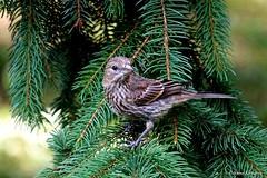 Female House Finch (Anne Ahearne) Tags: bird birds nature wildlife animal animals housefinch finch cute wild spruce tree