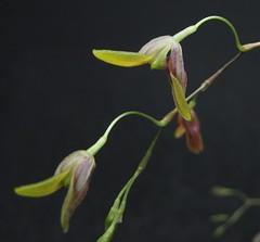 Pabstiella sp var. CAL/ES clara (Micro-orquídeas Roberto Martins) Tags: pabstiella sp var cales clara pleurothallis pleurothallidenae epifitas micro microorquídeas mini orquídeas exposição orquidáceas galeria robertomicroorquideas robertoorquideas robertomicros permuta venda de coleção