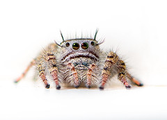 White Jumper (Neil_Wagner) Tags: jumping spider white macro stack