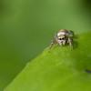 Hello ! (Gisou68Fr) Tags: araignée spider yeux eyes araignéesauteuse jumpingspider canon eos 650d3 macro efs60mmf28macrousm canoneos650d jardin garden saltique