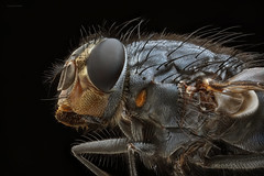 Black & Blue (John Joslin) Tags: antenna a7 macro nature hairy closeup close dark delicate eyes extreme focus fly insect wings wildlife little tiny wing legs mpe65 mouth portrait q stacking stack small