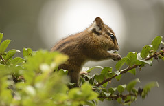 Sometimes they just pose! (woodwindfarm) Tags: chipmunk camp meriwether