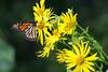 DSC_6449 monarch on yellow comp (dllarson2009) Tags: kansas bakerwetlands