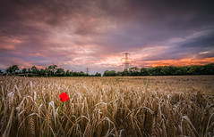 Poppy (Explored) (Photo Lab by Ross Farnham) Tags: sony poppy sunset a7rii lee filters golden hour kent sevenoaks 1635mm zeiss