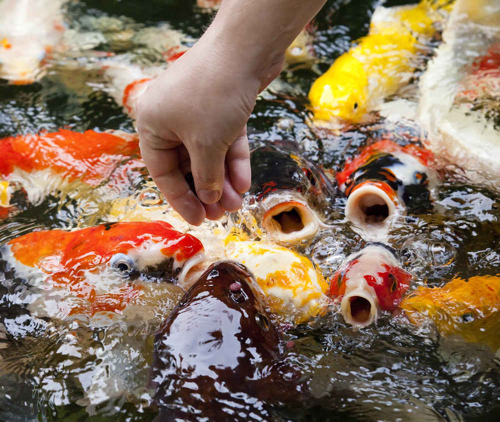 The world 39 s best photos of goldfish and red flickr hive mind for Best koi food