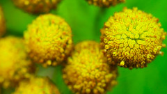In The Garden (Mark Dickens) Tags: garden nature flower tansy tanacetumvulgare macro green yellow