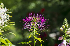 SLT04676 (rudenoon) Tags: sony slta99 sal135f18z garden flowers cleome cleomehassleriana spiderplant interlochen michigan usa